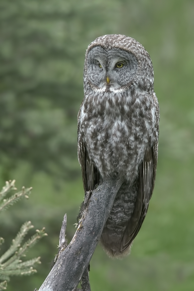 Great Gray Owl (Female)