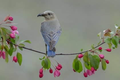 Female mountain bluebird thm